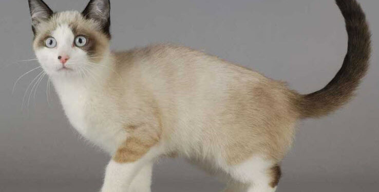 personality of snowshoe cat